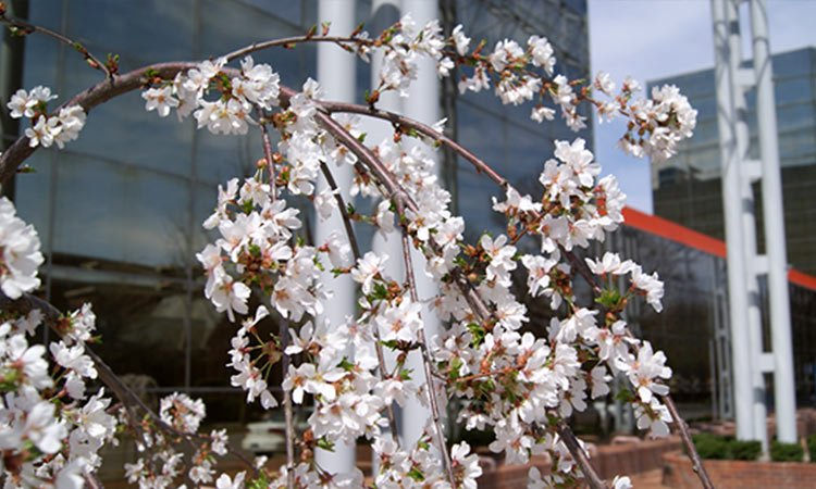 weeping cherry at AT&T Switching Station
