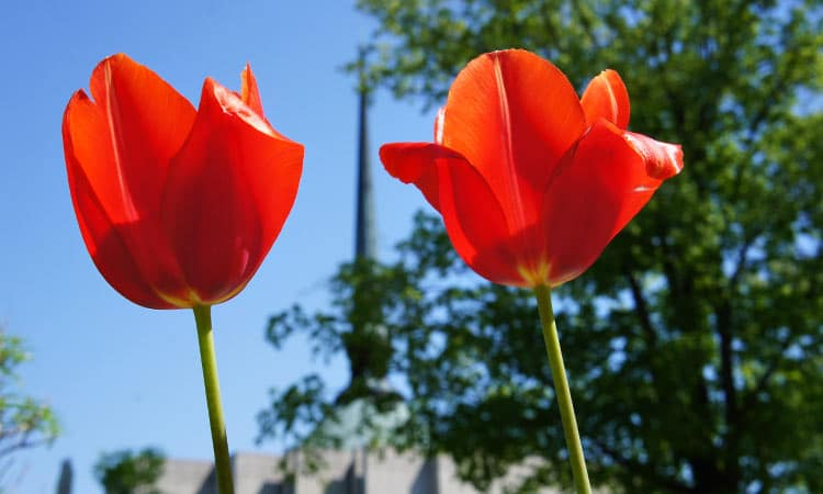 tulips and st. peters church - columbus, indiana